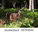 Royal stag walking in a pine forest - stock photo