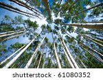 Aspen trees from below - stock photo
