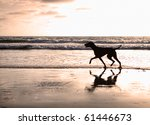 Silhouette of a Vizsla dog walking on the beach at sunset - stock photo