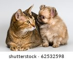 Cat and the puppy of the spitz-dog - stock photo