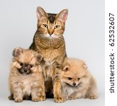 Cat and the puppies of the spitz-dog - stock photo