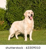 Portrait of nice posing golden retriever - stock photo