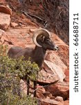 Desert Big Horn Ram Sheep in Utahs Zion National Park - stock photo