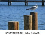 Ring-billed Gull (Larus delawarensis), the most common gull in N. America,  seen sitting atop one of three pilings driven into the water holding  a dock or pier in place and keeps it from crumbling. - stock photo