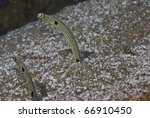 Spotted Garden Eels (Heteroconger hassi) from Indonesia. - stock photo
