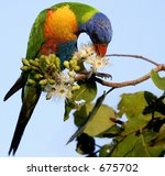 rainbow lorikeet bird - stock photo