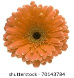 Orange gerbera flower isolated on white background - stock photo