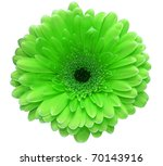 Green gerbera flower isolated on white background - stock photo