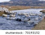 Rounding up of sheep in Iceland - stock photo