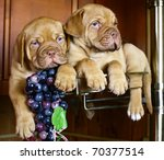 Two puppy dog from Bordeaux grapes. - stock photo