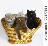 Four Scottish kitten in a basket. - stock photo