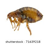 stock photo : Flea or Human Flea - Pulex irritans isolated on a white background.