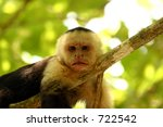 Cappuccino monkey - stock photo