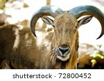 Ram - stock photo