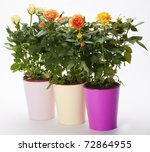 Three pots with multicolored roses on white background - stock photo