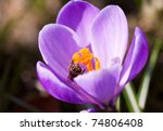Violet crocus with bee inside - stock photo
