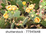 Blooming Prickly Pear or Paddle cactus with yellow flowers in Spring desert, Arizona - stock photo