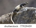A common chuckwalla in the desert. - stock photo