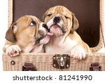 gentle kiss an English bulldog puppies - stock photo