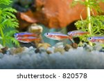 neon tetra fish in aquarium - SOME NOISE - stock photo