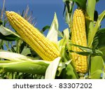 Corn close-up - stock photo