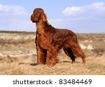 Beautiful Irish Setter male standing - stock photo