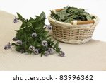 Blooming and dried mint /Mentha aquatica/ - stock photo