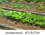 Rows Of Vegetable In A Farm - stock photo