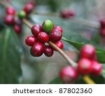 Detail coffee beans on the branch - stock photo