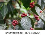 Group coffee beans on the twig - stock photo