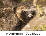 Racoon Dog in autumn - stock photo