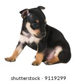 Toy-terrier puppy - stock photo