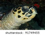 Hawksbill turtle close up of head - stock photo