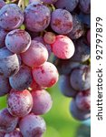 bunch of grapes on a vine - stock photo