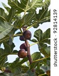 figs in a fig tree - stock photo