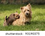 Norwich terrier puppy with his mother - stock photo