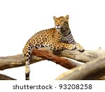 jaguar tiger cat isolated on white - stock photo