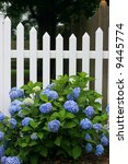 white picket fence with blue hydrangea flowers - stock photo