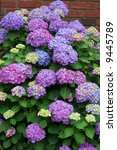 beautiful purple and pink hydrangeas - stock photo