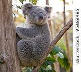 Australian Koala Bear holding onto a tree trunk. - stock photo