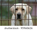 Yellow labrador retriever behind fence - stock photo