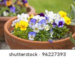 Small pansies or viola planted in clay pots in the springtime garden. - stock photo