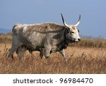 Hungarian grey cattle walking in the field - stock photo