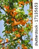 apricots on tree isolated over blue sky - stock photo