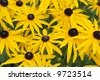 Black-eyed susans in a summer garden. - stock photo
