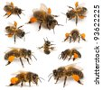 Composition of Western honey bees or European honey bees, Apis mellifera, carrying pollen, in front of white background - stock photo