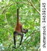 costa rican spider monkey male juvenile hanging from tree, corcovado national park, costa rica, central america, mono aranya exotic primate in lush vibrant jungle rainforest - stock photo