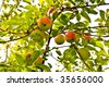 Fresh Apples Growing on a Tree - stock photo