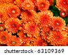 Horizontal photo of large  group of flowering mums ready for the holidays - stock photo