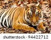Large male Bengal tiger in Bandhavgarh National Park, India - stock photo